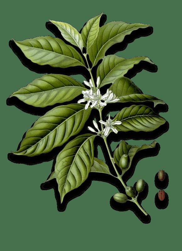 _coffee-tree
